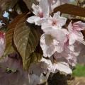 Prunus 'Chocolate Ice' (Matsumae-fuki)