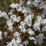 Prunus 'Frilly Frock'™