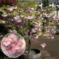 Prunus 'Little Pink Perfection'