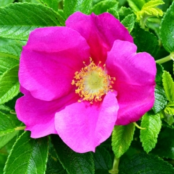 Hedging - Rosa rugosa 'Rubra' - Wild Rose Red (pack of 10 plants)