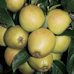 Minarette® Apple (Late) 'Herefordshire Russet'*