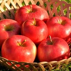 Minarette® Apple 'Honeycrisp'* (Late)