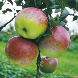 Apple Tree 'Howgate Wonder' (Late)