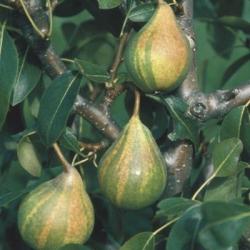 Pear 'Humbug' (Late season)