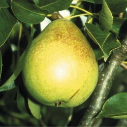 Pear 'Invincible' (delwimor*) (Mid)
