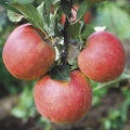 Minarette® Apple (Early) 'James Grieve'
