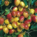 Crab Apple (Malus) 'John Downie'