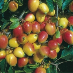 Minarette® Crab Apple 'John Downie'
