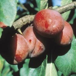 Plum Tree 'Jubilee'