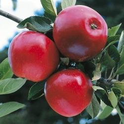 Minarette® Apple (Early) 'Katy'