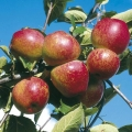 Minarette® Apple (Late) 'Kidd's Orange Red'
