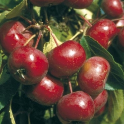 Crab Apple (Malus) 'Laura®'*