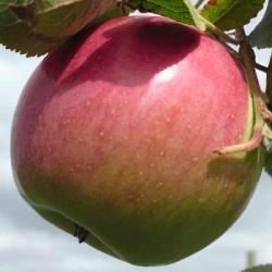 Apple Tree 'Laxton's Superb' (Late)