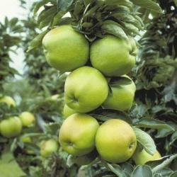 Espalier Trained Apple 'Lord Derby'