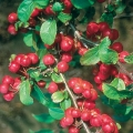 Crab Apple (Malus) 'Red Sentinel'