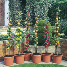 Minarette® Fruit Trees (Bare-rooted for late autumn despatch)