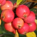 Crab Apple (Malus) 'Jelly King'*