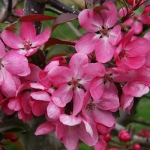 Crab Apple (Malus) 'Rudolf'*
