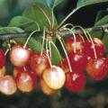 Cherry Tree 'Merton Glory'