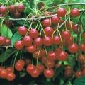 Cherry Tree 'Morello'