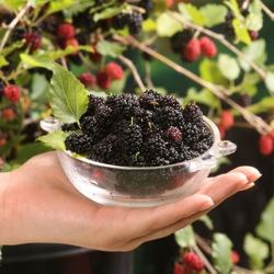 Morus 'Mojo Berry®' (Dwarf Mulberry)