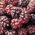 10% Off Black Mulberry Trees