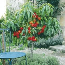 Patio Nectarine 'Nectarella'