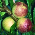 10% Off Nectarine Trees