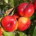 Nectarine 'Mesembrine'