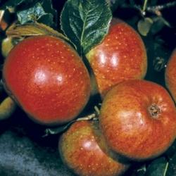 Apple Tree 'Newton Wonder' (Late)
