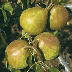 Minarette® Pear 'Onward' (Early)