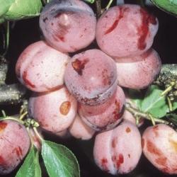 Plum Tree 'Opal'