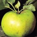 Apple Tree 'Original Bramley' (Mid/late)