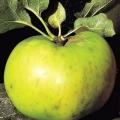 Apple Tree 'Original Bramley' (Mid/late)