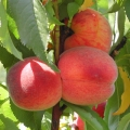 Peach 'Avalon Pride'®*
