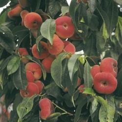 Peach 'Saturne'