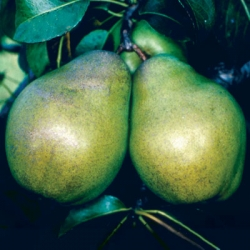 Minarette® Pear 'Glou Morceau' (Late)