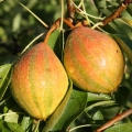 Minarette® Pear 'Humbug' (Late)
