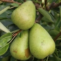 Pear 'Invincible®' (delwimor*) (Mid)