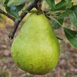 Pear 'Moonglow' (Early Season)