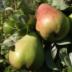 Pear 'Obelisk'®*(Late Season)