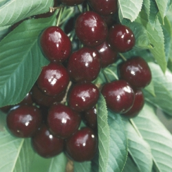Minarette® Cherry 'Penny'*