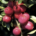 Crab Apple (Malus) 'Pink Glow'