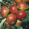 Minarette® Apple (Late) 'Pixie'