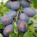 Plum Tree 'Toptaste'®* Kulinaria