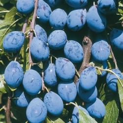 Damson Tree 'Prune Damson' (Shropshire Damson)