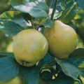 10% Off Quince & Medlar Trees