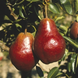 Pear 'Red Williams' (Early)