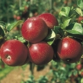 Minarette® Apple (Early/Mid) 'Red Windsor'