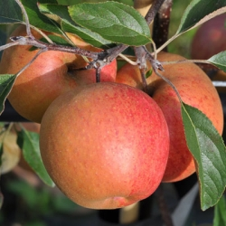 Espalier Trained Apple 'Red Falstaff®'*